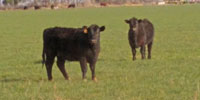 30 Angus Cross Rep. Heifers... TX South Plains