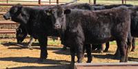 12 Angus Cross & Charolais Cross Rep. Heifers... Central OK
