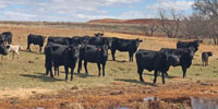 80 Angus Cross Pairs... W. Central OK
