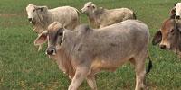 60 Reg. Brahman Rep. Heifers... South TX