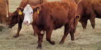 20 Red Angus & Red Angus Cross Pairs... Southwest MO