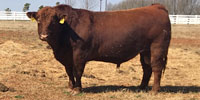 3 Reg. Red Angus Bulls... Central OK