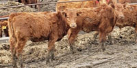 20 Red Angus Rep. Heifers... Central MO