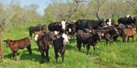 59 Brangus Baldy 1st-Calf Pairs... S. Central TX