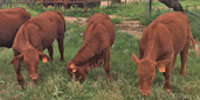 6 Reg. Beefmaster Rep. Heifers... South TX