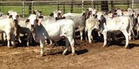 34 Reg. Brahman Rep. Heifers... Northeast TX