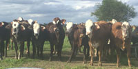 19 Braford/Tigerstripe Rep. Heifers... S. Central TX