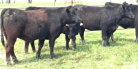 17 Reg. Angus Bred Heifers... Central TX