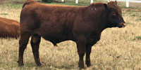 1 Red Angus Bull... Northeast OK