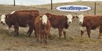 75 F1 Hereford/Red Angus Rep. Heifers... Central NE