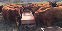 37 Reg. Red Angus Rep. Heifers... Central MO