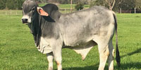 6 Reg. Brahman Bulls... Central TX