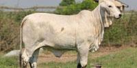 2 Reg. Brahman Show Heifers... Southeast TX