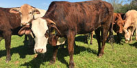 15 Brahman Cross Bred Heifers... Northeast GA