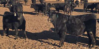 70 Angus Bulls... Southeast SD