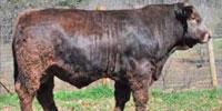 1 Reg. Braunvieh Bull... Northeast AL