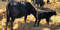 38 Angus 1st-Calf Pairs... S. Central MT