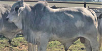 2 Reg. Brahman Bulls... Central TX (1)