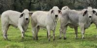 12 Brahman Rep. Heifers... Southeast TX