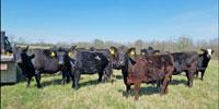 80 Angus & BWF Cows... Southwest MO (4) (4)