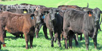47 Purebred Brangus Rep. Heifers... Northeast TX