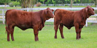 9 Reg. Santa Gertrudis Cows... East TX