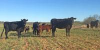 25 Angus Cross 1st-Calf Pairs... TX Panhandle