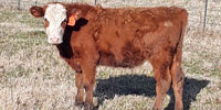 6 Red Angus Stocker Steers... E. Central OK ~ GF ~ AN