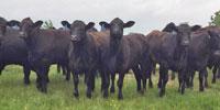 70 Brangus Bred Heifers... East TX