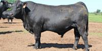5 Reg. Brangus Bulls... Central TX