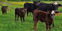15 Brangus 1st-Calf Pairs... Northeast TX