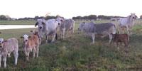 17 Purebred Brahman Cows w/ 12+ Calves... S. Central LA
