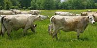 38 Charolais Cows w/ 25+ Calves... Southwest AR
