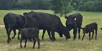 15 Brangus 1st-Calf Pairs... East TX