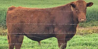 3 Reg. Red Angus Bulls... N. Central OK
