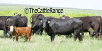 200 Angus & Angus Cross Pairs... North TX