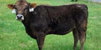 10 Reg. Braunvieh Rep. Heifers... Central AR
