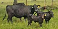8 Angus Plus 1st-Calf Pairs... Southeast TX