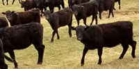300 Angus Bred Heifers... Northeast WY ~ FD