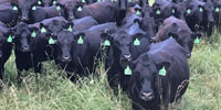 400 Angus Cows... Northeast AR