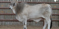1 Reg. Brahman Bull... South TX (10)