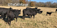 8 Purebred Angus Pairs... Northeast TX