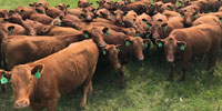 400 Red Angus Cows... Northeast AR