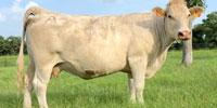 9 Reg. Charolais Cows... Central TX