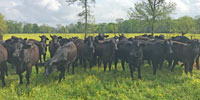 50 Brangus Bred Heifers... Central LA