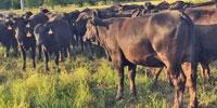 40 Brangus 1st-Calf Pairs... East TX