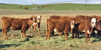75 F1 Red Angus Cross Rep. Heifers... Central NE