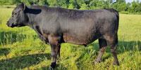 20 Reg. Angus Bulls... Northwest AR (1)