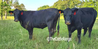 25 Angus Cows w/ 3+ Calves... Northeast MS (1)