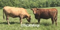 67 Red Angus & Red Angus/Charolais Bred Heifers... Central MO
